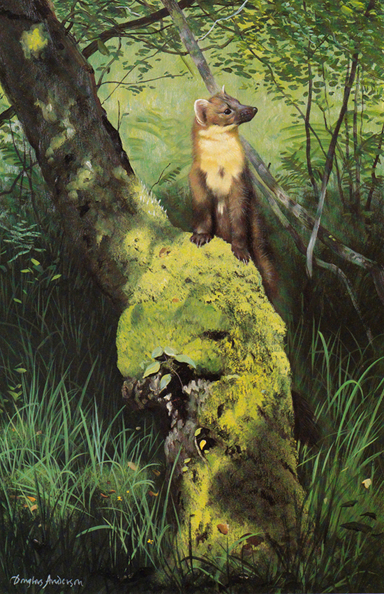 Pine Marten on Mossy Trunk